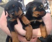 cute german rotti Puppies 971x231x5532