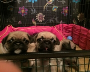 Beautiful Pug Puppies for Sale 971x231x5532