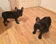 Well Trained French Bulldog Puppies for sale 971x231x5532