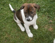 Beautiful jack russel puppies ready 971x231x5532