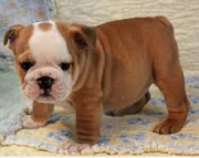 1male and 1female baby english bulldogs 971x231x5532