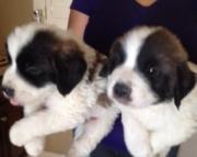 Saint bernard puppies 971x231x5532