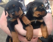 Sdgsf rottweiler puppies ready now 971x231x5532
