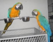 Hand Tamed Blue and Gold Macaw Parrots 971x231x5532