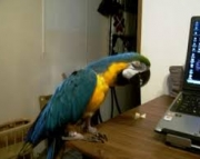 Blue and Gold Macaw for for Sale 971x231x5532