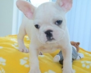 powerful male and female french bulldogs 971x231x5532