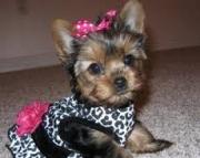 Excellent AKC Registered Yorkie Puppies 971x231x5532