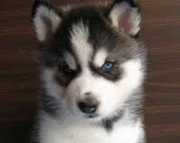 Healthy Blue Eyes Siberian Husky Pups 971x231x5532