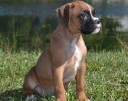 MJBHV Boxer Puppies  505x652x7165