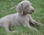 Active Weimaraner puppies 505x652x7165