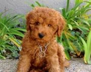 HBAY Goldendoodle puppies 505x652x7165