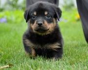 JSDG Rottweiler puppies 505x652x7165