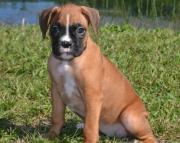 MSFSN Boxer Puppies