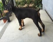 Bloody yes Doberman puppies 505x652x7165