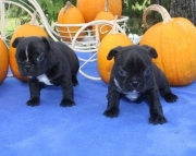 HD French Bulldog puppies 505x652x7165