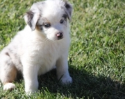 Aussie Australian Sherperd puppies  505x652x7165