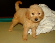 HGSF Goldendoodle puppies 505x652x7165