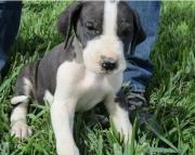 SDK Great Dane puppies 505x652x7165
