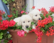 CSUB Golde Retriever puppies 505x652x7165