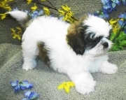 JS Shih Tzu puppies 505x652x7165