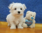 gry Maltese Puppies For Sale