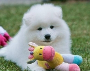 fhd Samoyed puppies for sale