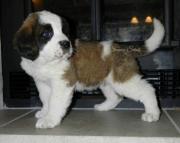 sfa Saint Bernard Puppies For Sale