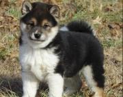dsa shiba inu puppies for sale
