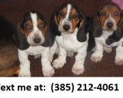 dfsa Basset Hound Puppies For Sale