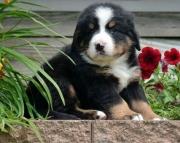 dwe Bernese Mountain Dog Puppies For Sale