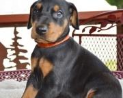 dda Doberman Pinscher Puppies For Sale