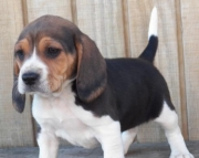 dwe Beagle Puppies For Sale