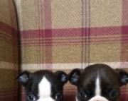dsg Boston Terrier Puppies For Sale