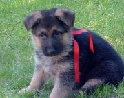 rte German Shepherd Dog Puppies For Sale