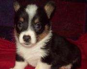 fet Pembroke Welsh Corgi Puppies For Sale