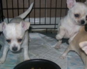 dgf Chihuahua Puppies For Sale