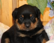 beauty Rottweiller puppies  for sale