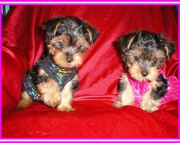 family cute Yorkshire Terrier puppies  for sale