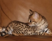 sfd savanah bengal kittens for sale