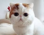Fgh Beautiful Exotic Shorthair Kittens for Sale