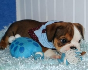 calm English Bulldog puppies  for sale