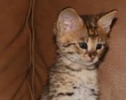 Beautiful Savanah Bengal Kittens for Sale