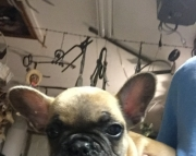 Familiar French Bulldog puppies for sale