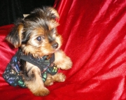 calm cute yorkies for sale