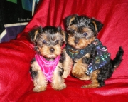 family cute yorkies for sale