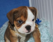 family cute English Bulldog puppies  for sale