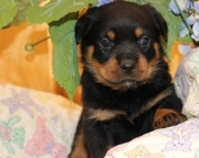 cute Rottweiller puppies  for sale