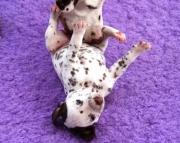 Rex the dalmatian puppies 505x652x7165
