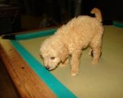 Vr Goldendoodle puppies 505x652x7165