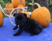 Kl French Bulldog puppies 505x652x7165